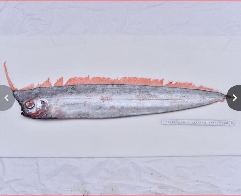 アカナマダ‗深海魚
